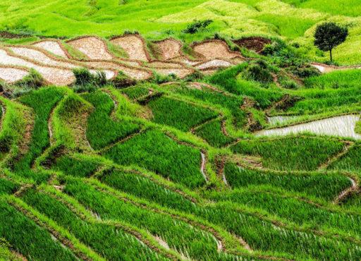 Rizières en terrasse sur les Hauts-Plateaux de Madagascar